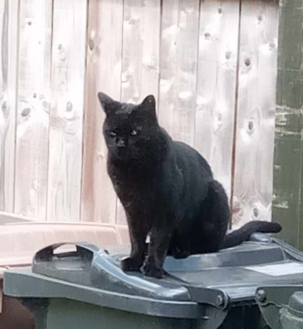 Cat on wheelie bins