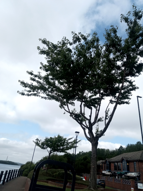 Quayside tree